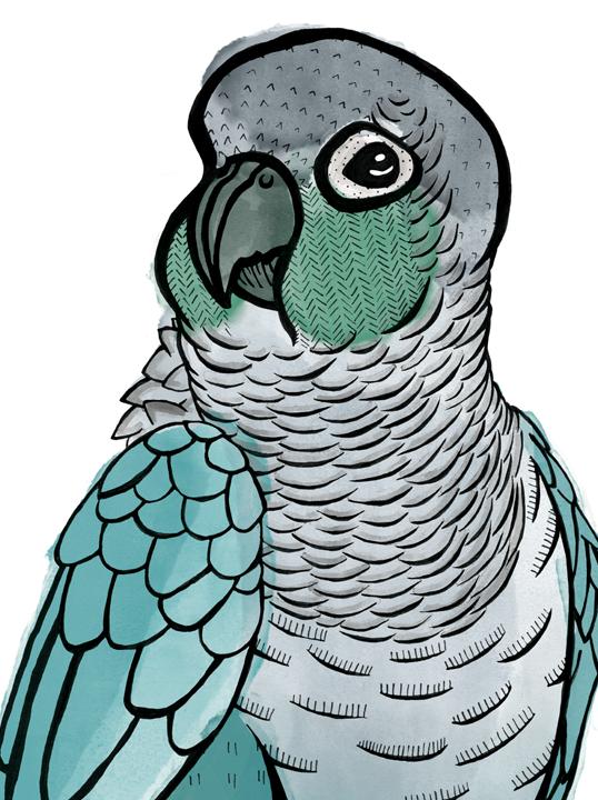 Conure Watercolour